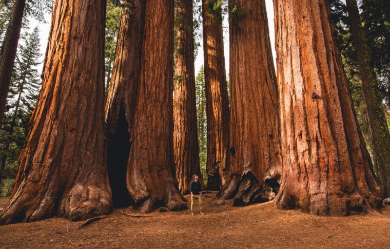 A man standing in between towering trees in Sequoia National Park