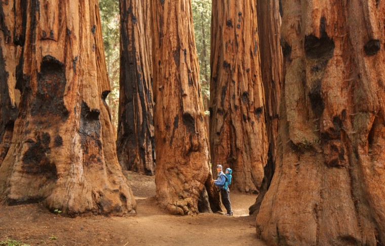 A mother and small child on her back walking through the towering sequoia trees