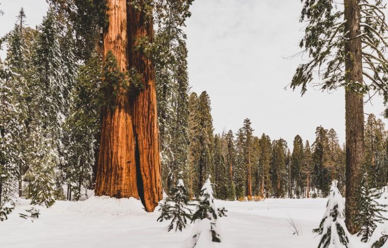 A Sequoia Tree in a snowy field
