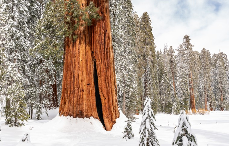 The trunk of a Sequoia Tree in winter with snow covered ground and a forest in the back