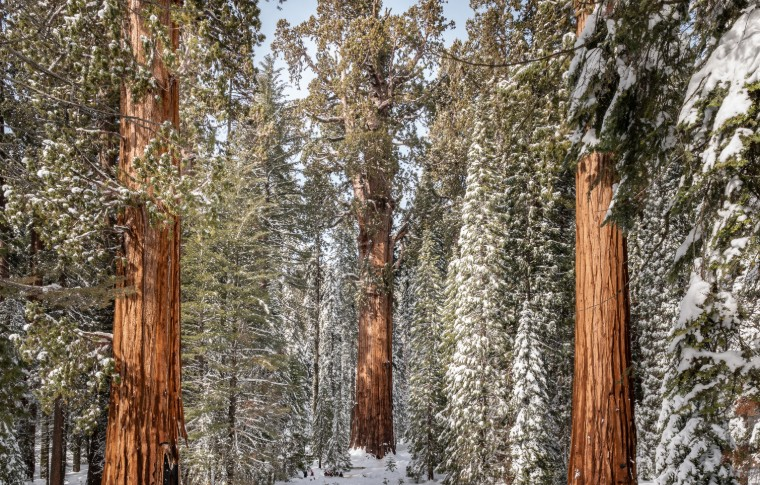 Tops of Sequoia Trees dusted with snow