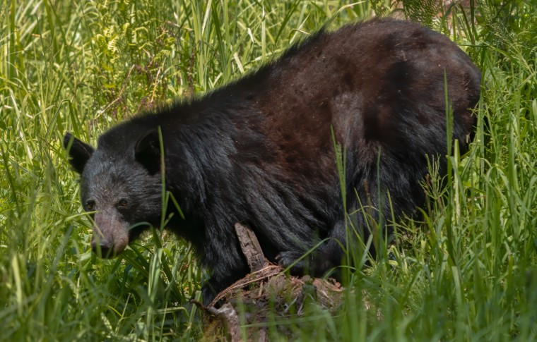 A bear laying in a grassy field