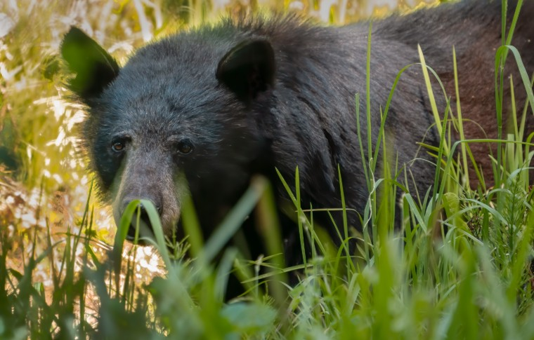 A black bear carefully peaking out from amongst the grass
