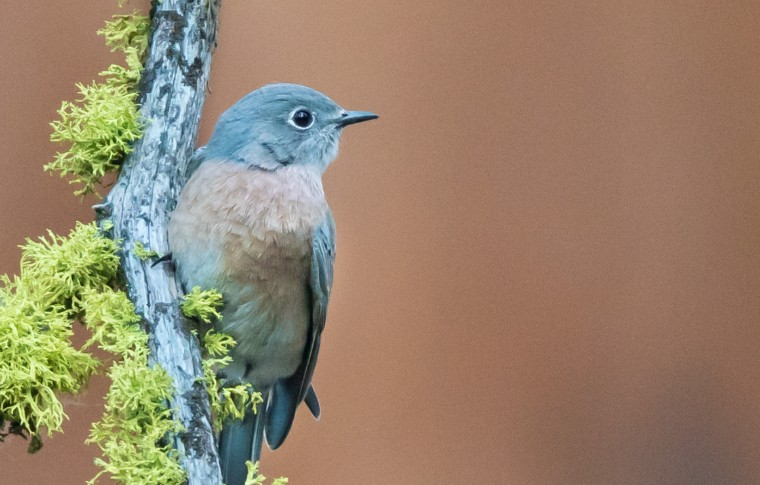 A blue bird perched on a tree looking off into the distance