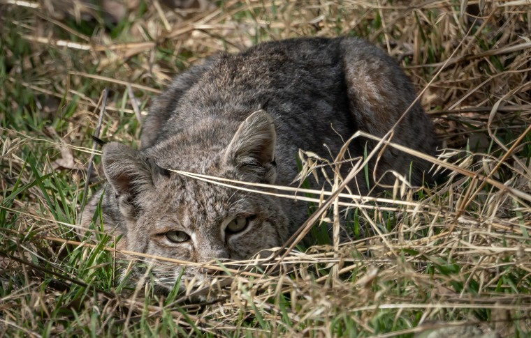 A bobcat low to the group hiding behind some grass