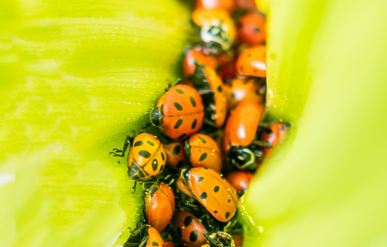 A closeup of group of many ladybugs climbing on leaves