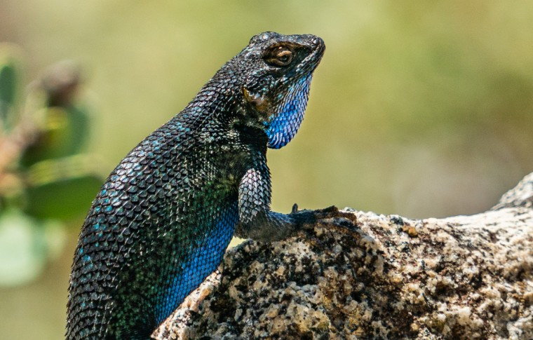 A lizard climbing up a rock