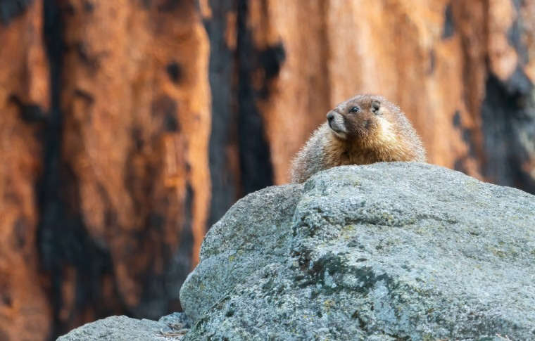 A marmot laying on a rock in Sequoia National Park