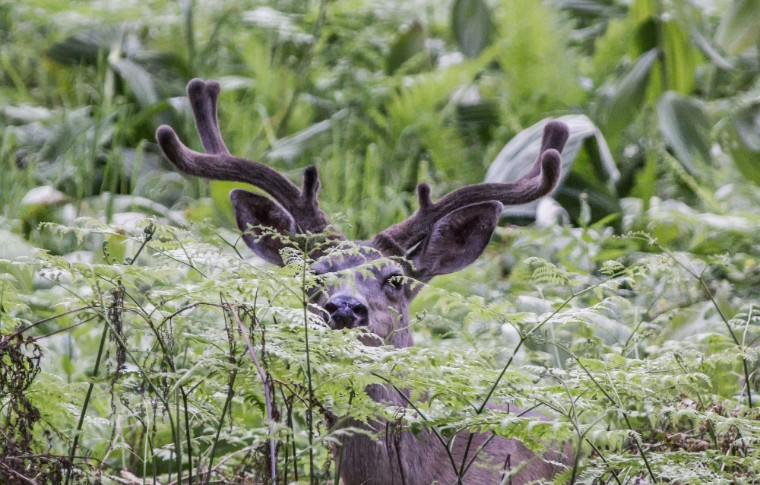 A deer timidly poking it's head above greanery