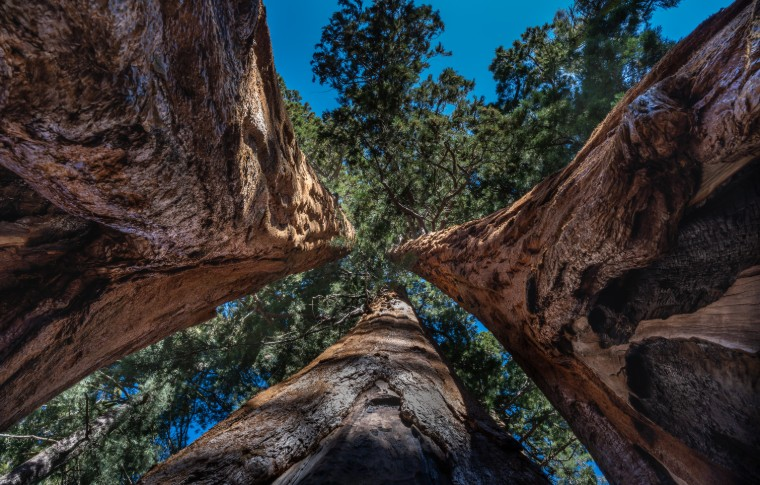 Perspective looing upwards at the tops of the Sequoia Trees