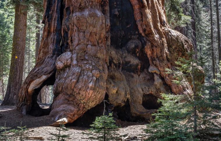 Stump of a Sequoia Tree