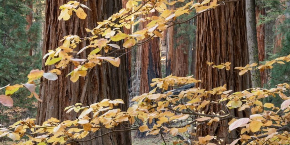 Fall in the Giant Forest with yellow leaves peeking through the tree trunks